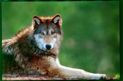 The Wolf Sanctuary of PA