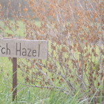 witch hazel plant with wooden sign